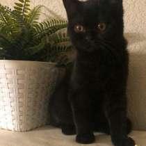 Британский котенок кот питомник Aljenika, в Екатеринбурге