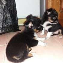 Чихуахуа щенки, в г.Ереван