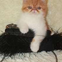 Котенок экзот 6 месяцев, в Тольятти