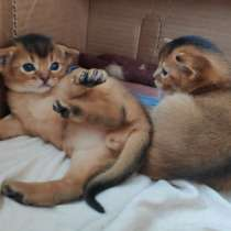 Абиссинские котята, в Калининграде