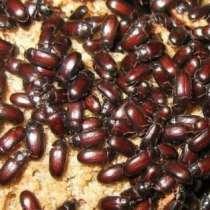 Продаю жуков-знахарей чернотелка, в Краснодаре