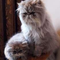 Продам котят экзотов и персов, в г.Могилёв