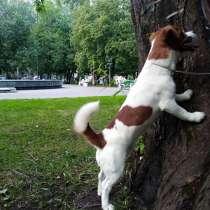 Джек Рассел ищет подругу, в Новосибирске