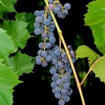 Виноград, в Краснодаре