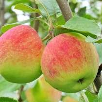 Крупномеры яблони оптом и в розницу, в Москве