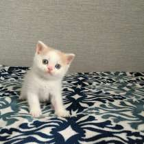 Шотландский котенок, в г.Астана
