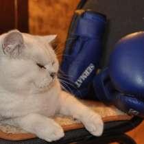 Вязка с британским шиншиловым котом, в Екатеринбурге