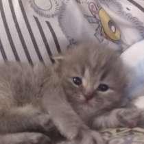 Шотландский котенок. Чистокровный, в Вольске