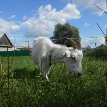 Продаётся коза, в Новосибирске