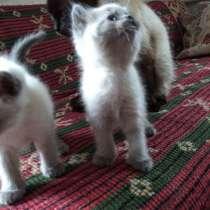 Сиамские котята, в г.Донецк