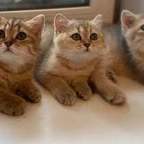 Британские котята, в Люберцы