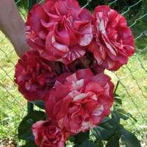 Саженцы роз, в Сочи