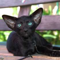 Ориентальные котята, белого, черного и пятнистого окраса, в Самаре