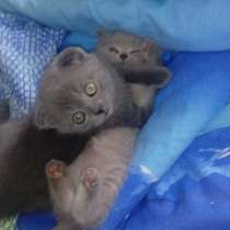 Плюшевые друзья(британские котята), в Омске