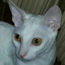 Отдам даром Кошка Корниш рекс 1 год белая, в Иванове