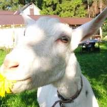 Зааненская коза дойная, в Одинцово