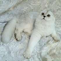 Шотладский котенок, в г.Минск