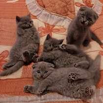 Игривые котята Sckottish Fold и Straight, в г.Виттен