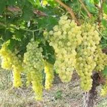 Обрезаю сад, виноград ! ГАРАНТИЯ !! КОНСУЛЬТАЦИЯ !!!, в г.Бишкек