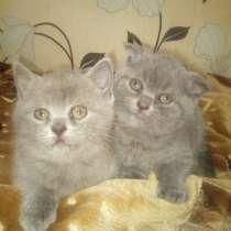 Продам шотландских и британских котят, в г.Барановичи