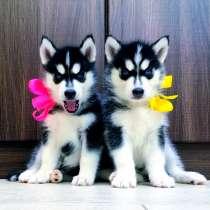 Замечательные черно-белые щенки хаски, в Конаково