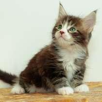 Продаются котята породы МЕЙН-КУН, в Нижнем Новгороде