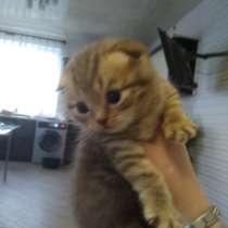 Британские котята, в г.Пинск