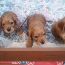 Продам чистопородного щенка английского коккер-спаниелч, в г.Белая Церковь