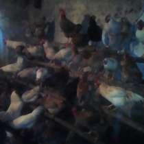 Продаются индюки. куры, в Керчи