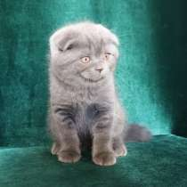Красивый шотландский котик, в г.Киев