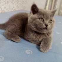 Шотландські кошенята, в г.Хмельницкий