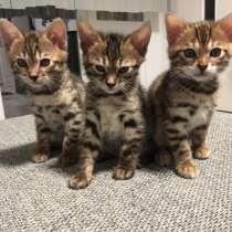 Бенгальские котята, в г.Берлин