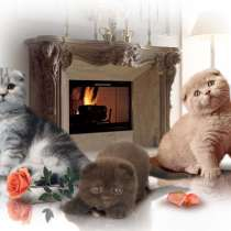 Британские и шотландские котята, в Москве