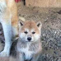 Продажа щенков Акита, в Краснодаре