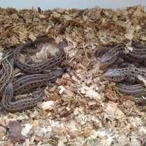 Прыткие ящерицы, в Ангарске