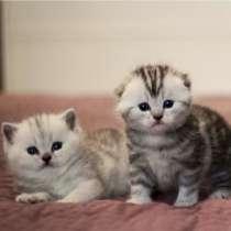 Продажа британских, шотландских вислоухих котят, страйтов, в Москве
