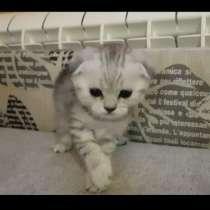 Котята британские, от кота вислоухова шотландца, в Челябинске