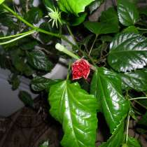 Китайская роза, в Самаре