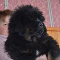 Щенки тибетского мастиффа, в г.Киев