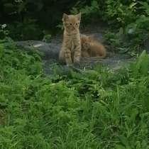 Рыжие котята в дар, в г.Борисов