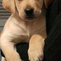 С удовольствием куплю собаку породы Лабрадор Р, в г.Erez
