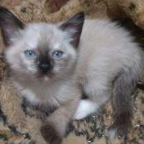 Сиамские котята, в г.Могилёв