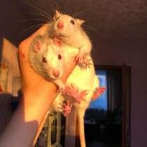 Куплю крысу САМКУ❗️, в Аниве