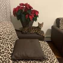 Бенгальский кот, в г.Нью-Йорк