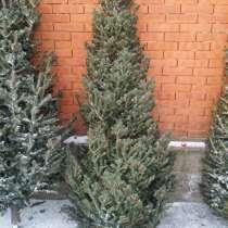 Живая пихта макушка, ель/елка сосна заготовитель, в Красноярске