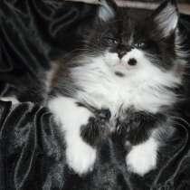 Питомник придлагает котят Мейн-кун, в г.Киев