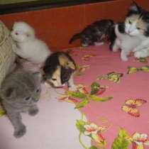 Необычные котята от као мани и рагамаффина, в г.Мариуполь