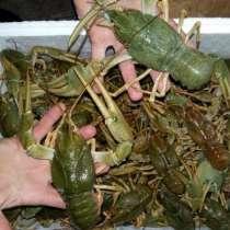 Куплю живых раков от 10 кг, в г.Витебск