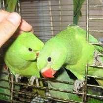 Ожереловые попугаи (птенцы 3 мес), в Москве