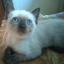 Срочно! Продам тайского котенка, в Краснодаре